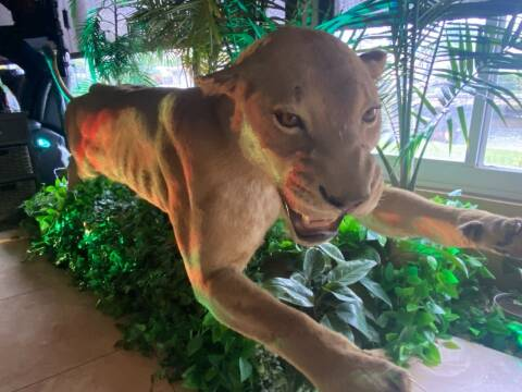 2022 Lion Taxidermy  for sale at BIG BOY DIESELS in Fort Lauderdale FL